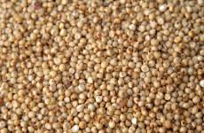 Kevésbé ismert gluténmentes gabonafélék 3. A cirok.