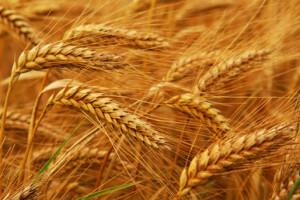 Cöliákia, gluténérzékenység, gabonaallergia