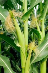 A kukorica növény Dél-Amerikából származik